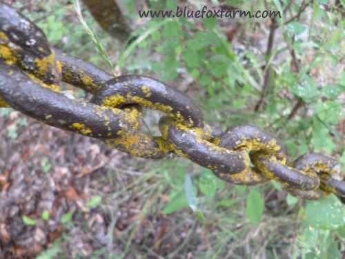 Old chain has been here so long it has lichen growing on it - now that's patina...