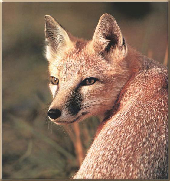 Swift Fox - never look back..