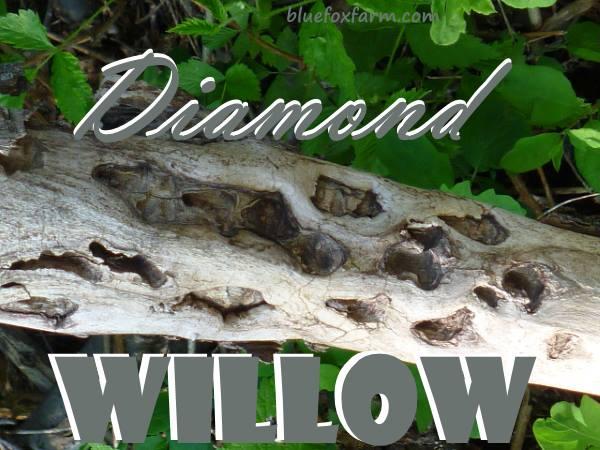 Diamond Willow branch