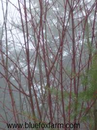 Acer douglasii, the clump maple