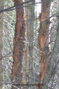 Betula occidentalis, river birch