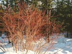 Cornus sericea, Red Twig Dogwood