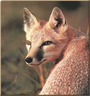Swift Fox - never look back..