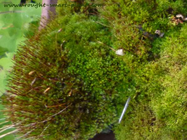 See more about acrocarpus moss here