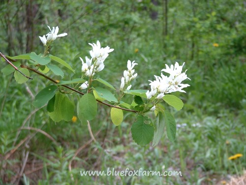 Amelanchier in full bloom...