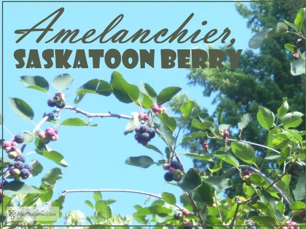 Amelanchier, the Saskatoon Berry
