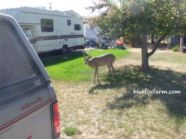 A mule deer, very accustomed to people and vehicles in Grand Forks, B.C.