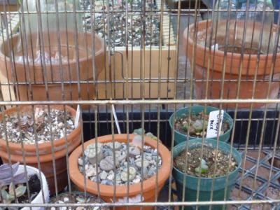 Protecting those delicious Lithops from the mice and chipmunks...