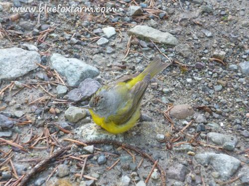 Nashville Warbler window strike victim