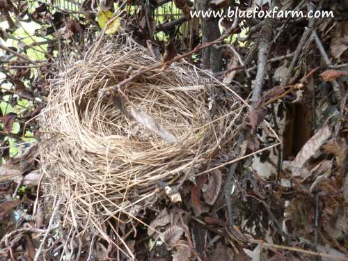 Birds Nest in a witches broom