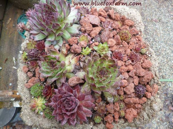 Following a winter under a snowbank, the plants look gorgeous...