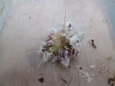 It's not an alien, it's a Sempervivum chick, with lots of roots...