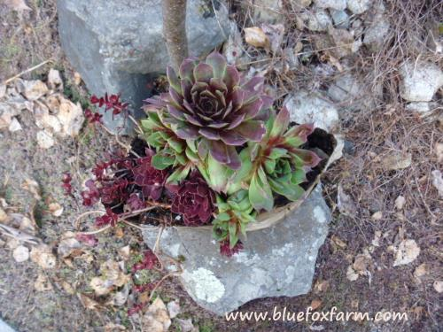 Burgundy and green fall coloration makes these Sempervivum pop!