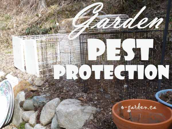 Old bird cages are perfect to protect those salad greens too...