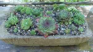 Hypertufa bird cage planter, planted with Sempervivum