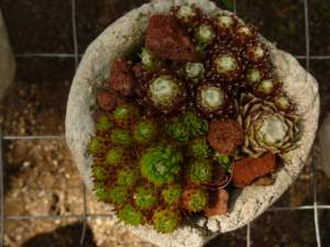 Miniature Succulents love living in Hypertufa Pinch Pots