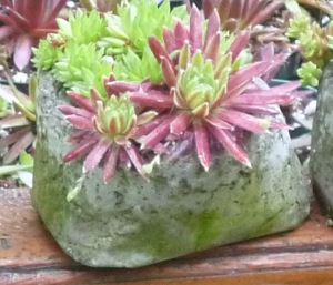 Small, jewel-like planting of Sempervivum in a pinch pot