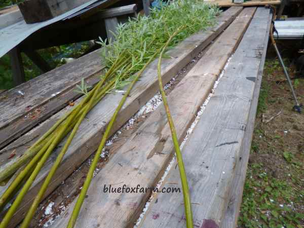 Several willow rods or stems