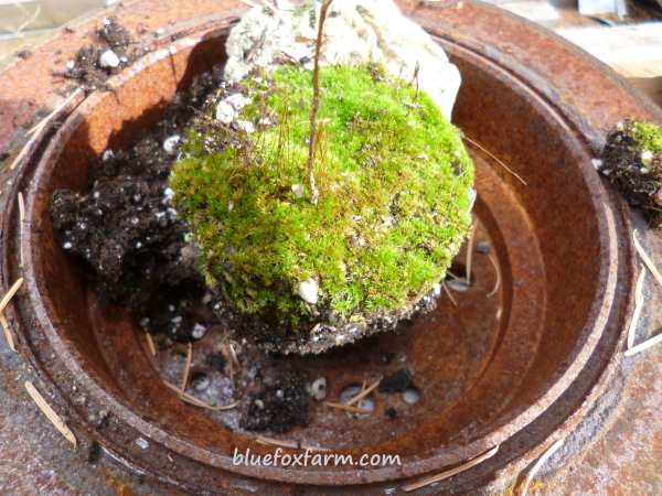 Here I've started in the middle, with a pot full of moss and old potting soil
