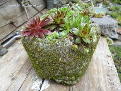Larger sized pinch pot starting to grow moss