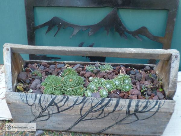 Painted Twig Toolbox, planted with Sempervivum