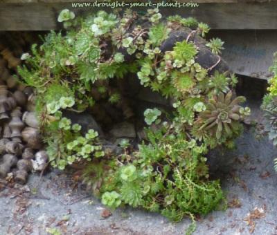 Panty Hose Succulent Wreath