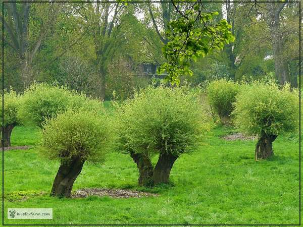 Pollarded Willows in a plantation