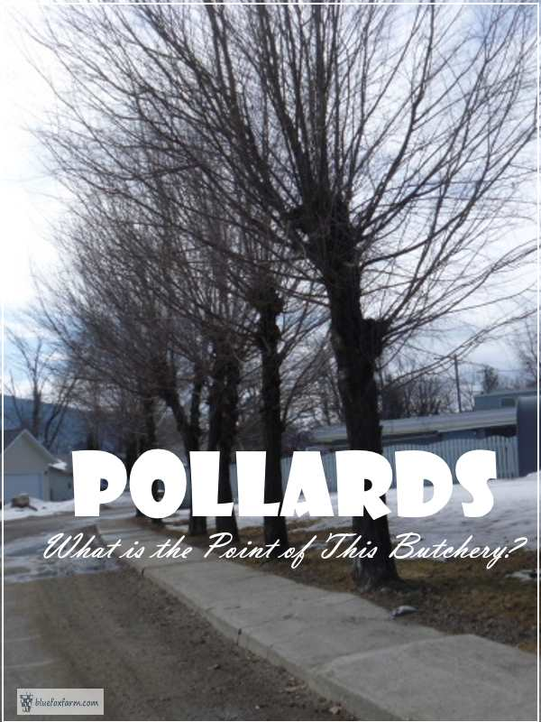 Pollards - what is the point of this butchery?