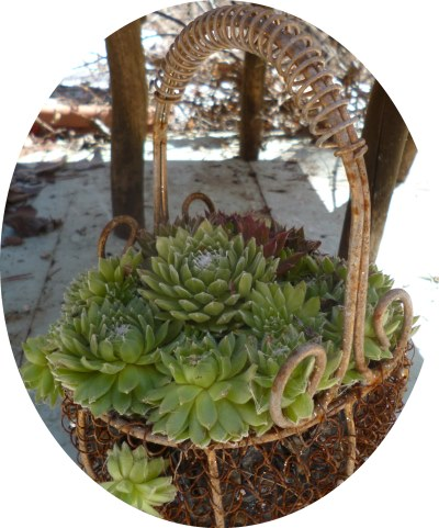 Rustic salvaged basket with Sempervivum