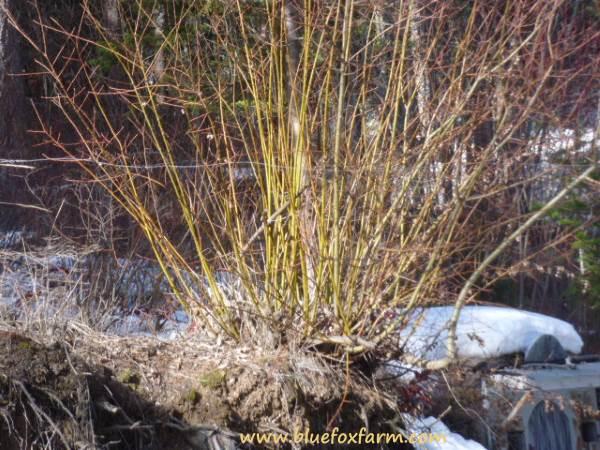 Coppiced Native Willow, Salix bebbiana