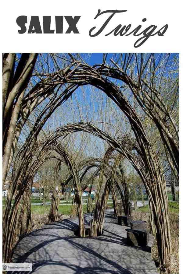 Salix Twigs