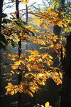 Hickory Tree in Autumn