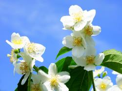Philadelphus lewisii - mock orange