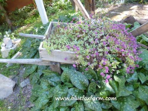 Frothing over with Sedum, an old wooden topped wheelbarrow