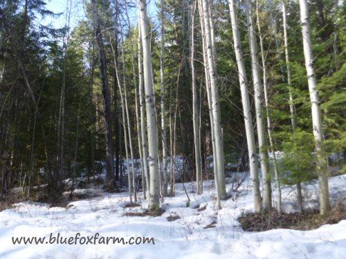 Populus tremuloides, the quaking aspen