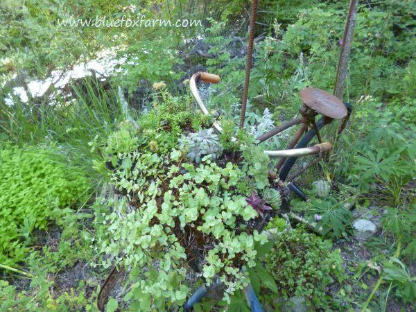 Sedum stonecrop and Sempervivum hens and chicks are lush and happy...