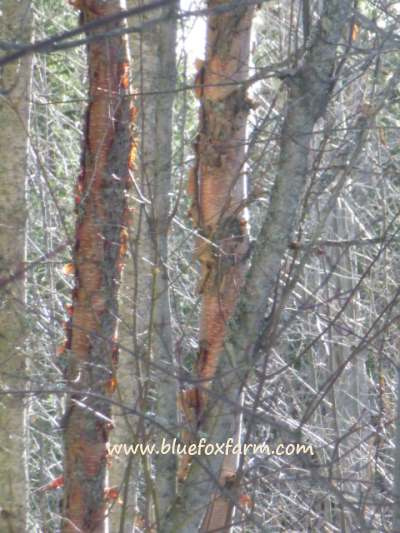 Birch Bark is a fabulous crafting material...