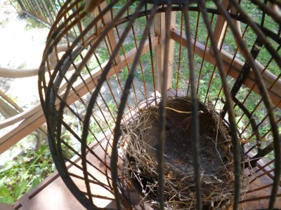 A collected birds nest that fell off it's perch is securely held in the black metal cage