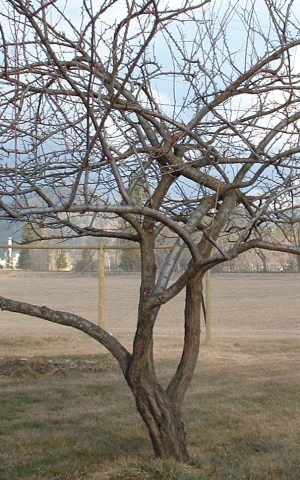 Apricot tree, badly in need of pruning