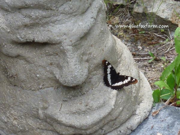 More hypertufa - this time a Grumpy Guy - funny how butterflies love this stuff...