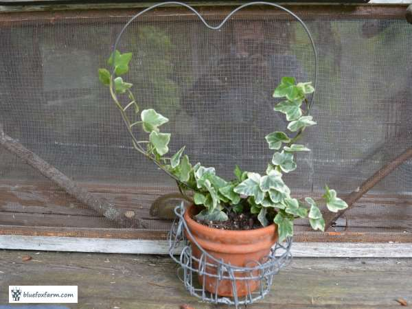 Heart Shaped Variegated Ivy Topiary