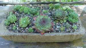 Hypertufa bird cage planter, planted with Sempervivum