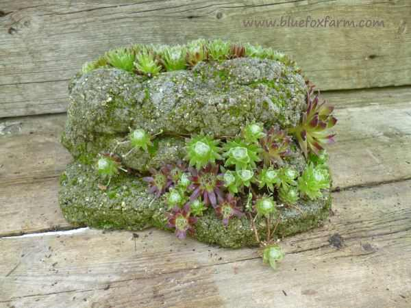 Hypertufa Strata Planter with fully established Sempervivum species