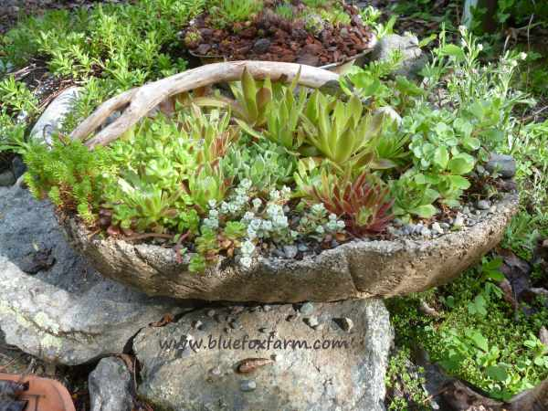 The lovely result of combining hypertufa, twigs and hardy succulents...