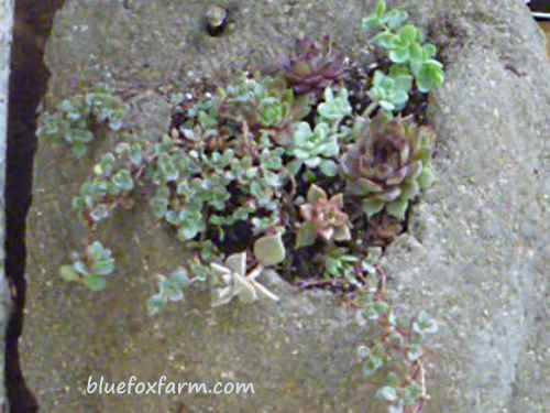 the finished wall pocket, planted with tiny Sedum and Sempervivum