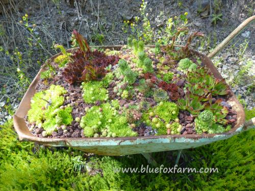 Rustic Salvaged Wheelbarrows make perfect planters