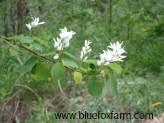 Amelanchier Twigs