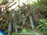 Willow Root People
