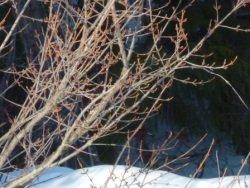 Shepherdia canadensis, Russet Buffaloberry