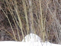 Salix bebbiana or a hybrid of native willows